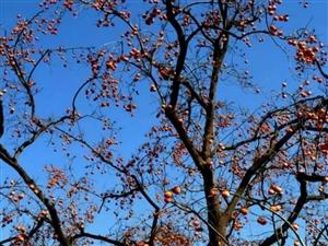 故乡隆冬的一道独特风景——柿子熟了