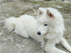 �D��_摩耶犬