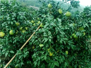 陵江镇笋子沟村的橙子快熟了