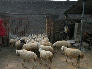 自家散放的羊,生长周期长,肉质鲜美,要的