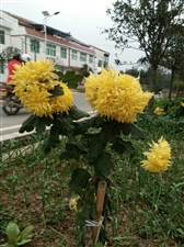 好看的黄菊花,真是香气袭人。