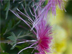 百花凋零秋菊傲然看那朵朵菊花它美