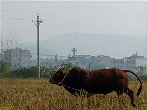 散�B土�S牛肉自家�B的,山上吃草�L大的,