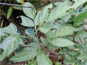 客家地方语言和学老地方语言讲的:抹草,仙草和安石榴,红花