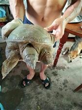 甲鱼收获季