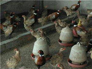 农村玉米养殖的野鸡