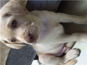 2个多月拉布拉多出售送狗笼子