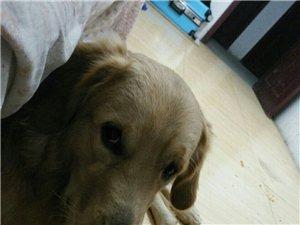 寻狗启示,爱犬以丢数日,好伤心