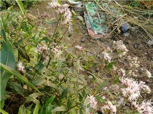 揭西草药尖尾风现在野外少见都是私人种植