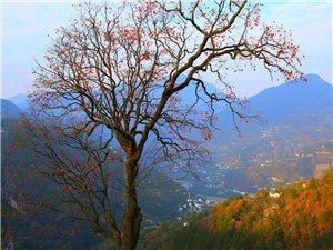 大山里的柿子树