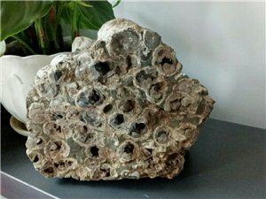 果木化石,火山化石,�渲�化石�o大家欣�p欣