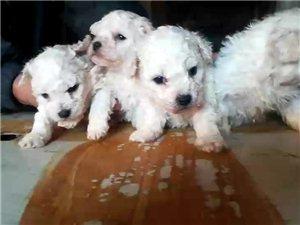出售各种宠物狗价格美丽保证健康