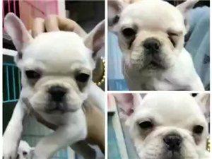 出售各种宠物狗狗