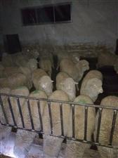 羊肉批发价