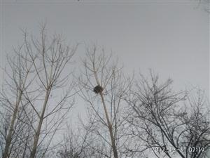 美丽龙都――寻找濮阳乡村树林中的鸟巢