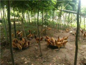 富顺县明宇养殖场出售正宗山鸡