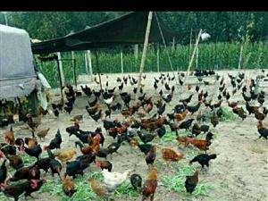 自家散养鸡,健康环保,自己也在吃,滋补实