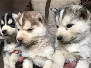 犬舍繁殖哈士奇幼犬出售