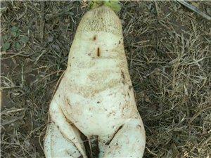 一个奇葩白萝卜