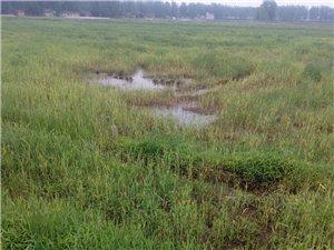 在霍邱县冯井镇苏宋村有一片1000多亩的