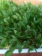 纸上种植芽苗菜,家里阳台就可以!清新空气