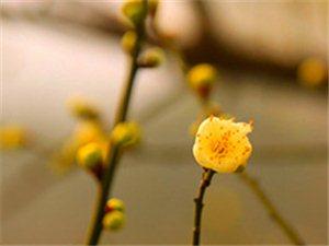 五柳公园的梅花开了。