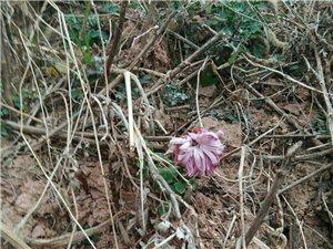 腊月菊花,神奇吗?