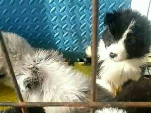 出售家养边牧幼犬一窝,一岁半咖啡色边牧公