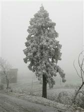 云南镇雄生态大花山之黄连雪景