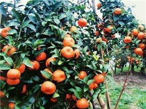 冰糖橘的嫁接方法有哪些