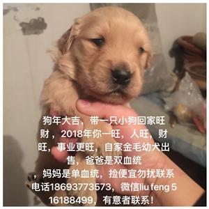 出售自家繁殖金毛幼犬,高品质,父亲带血统证书,母亲单血统.要的联系电话18693773573,微信l...