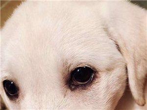 酬金尋愛犬(白色拉布拉多)