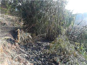 春节期间,有人焚烧我承包河边地竹林、桑树
