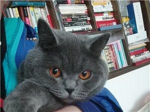 英短藍貓母貓配種