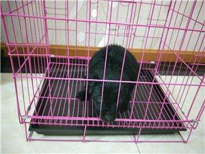 ��N拉布拉多犬巡回�C犬出售