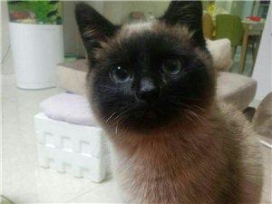 出售暹羅貓
