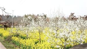 响水六坊的油菜花花开了,飞黄飞黄的