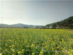龙潭凤铃花看后迎来了坪上曲湖村的油菜花