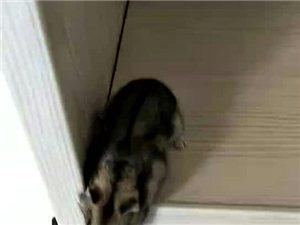 �n鼠送人