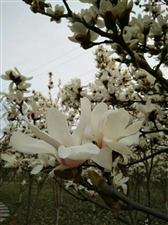 美高梅官网公园的白玉兰花