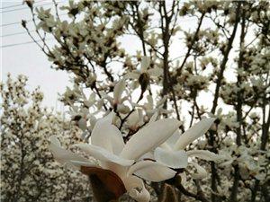 澳门威尼斯人网站公园的白玉兰花
