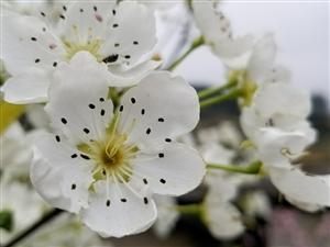 春暖梨花桃花�_