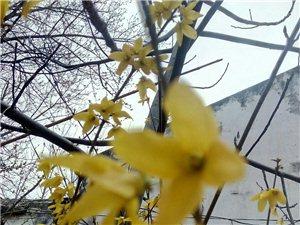 迎春花开了。