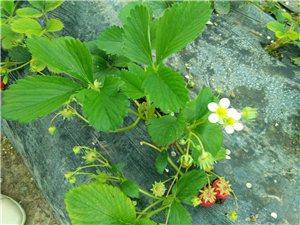 美高梅注册头铺花园陈家草莓