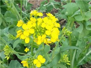 春天来了油菜花开了
