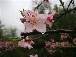 桃花盛开,踏春正当时。