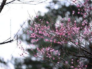 山桃红花满上头