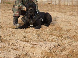 有没有喜欢大型犬的卡斯罗顶级护卫犬