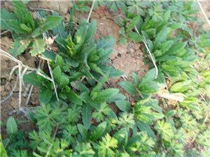 你认识这是什么野草吗?