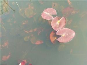 水中的小荷才露绿绿的叶